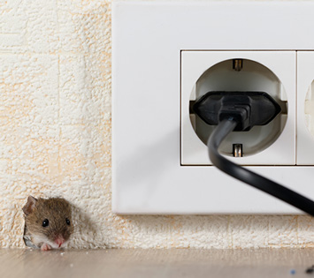 A Common Rat Inside A Cupboard. Keeping Your Home Pest Free Is Part Of a Healthy Home